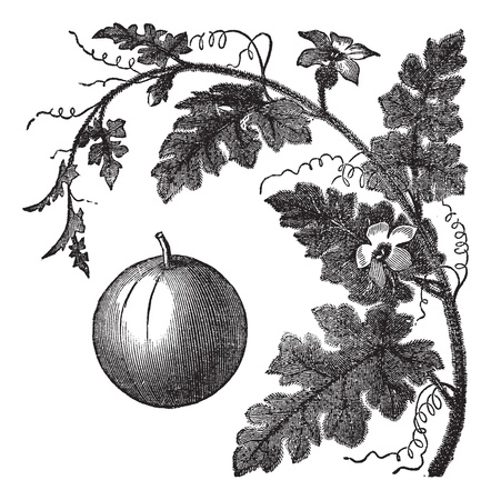 botanical medicine: Colocynth or Bitter Apple or Bitter Cucumber or Egusi or Vine of Sodom or Citrullus colocynthis, vintage engraving. Old engraved illustration of a Colocynth showing fruit.