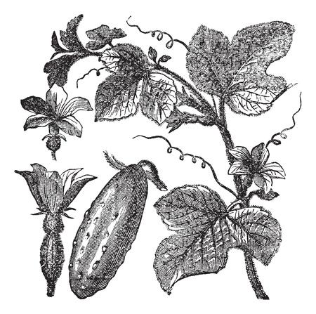botanika: Okurka nebo Cucumis sativus, vinobraní, rytina. Staré ryté ilustrace okurka ukazuje květiny, listí a zeleniny ovoce.