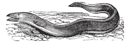 Conger Eel or Conger sp., vintage engraving. Old engraved illustration of a Conger Eel. Vector