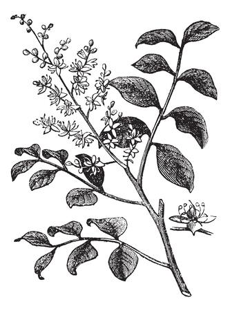 Diesel Tree of kerosine Tree of Kupa'y of Cabismo of Copauva Cabimo of Copaifera sp., Vintage graveren. Oude gegraveerde afbeelding van Diesel boomtak met bloemen.