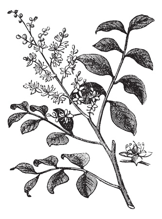 Diesel Tree or Kerosene Tree or Kupay or Cabismo or Copauva Cabimo or Copaifera sp., vintage engraving. Old engraved illustration of Diesel Tree branch showing flowers. Vector