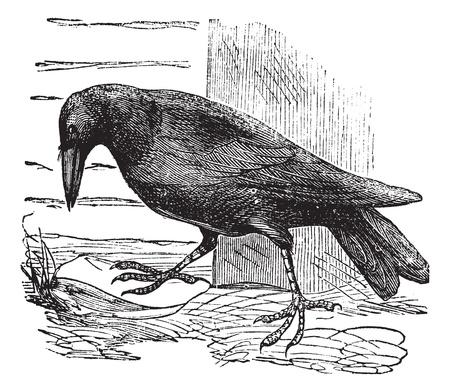 corvus: Raven or Corvus sp., vintage engraving. Old engraved illustration of a Raven.