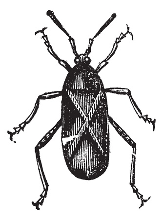 squash bug: Orange-tipped Leaf-footed Squash Bug or Anasa tristis, vintage engraving. Old engraved illustration of an Orange-tipped Leaf-footed Bug.