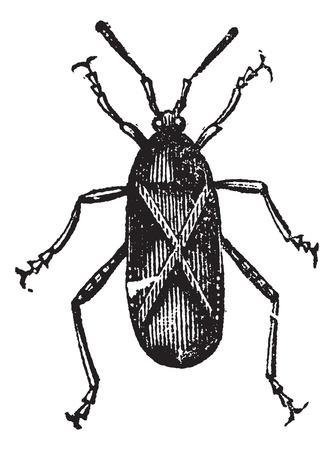 Orange-tipped Leaf-footed Squash Bug or Anasa tristis, vintage engraving. Old engraved illustration of an Orange-tipped Leaf-footed Bug.