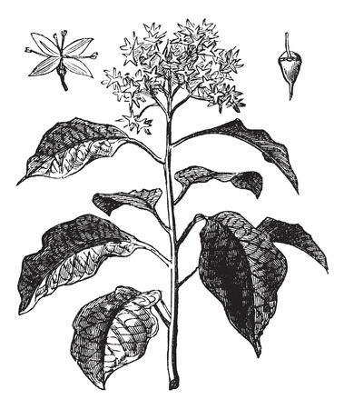 botanika: Pagoda Dogwood nebo alternativní rosnatka Dogwood nebo Cornus alternifolia, vinobraní, rytina. Staré ryté ilustrace Pagoda Dogwood ukazuje květ (vlevo nahoře) a ovoce (vpravo nahoře). Ilustrace