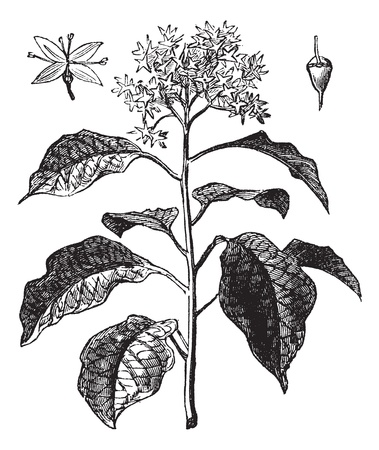Pagoda Dogwood or Alternate-leaved Dogwood or Cornus alternifolia, vintage engraving. Old engraved illustration of Pagoda Dogwood showing flower (upper left) and fruit (upper right). Vector