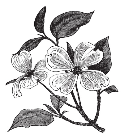 inflorescência: Flowering Dogwood or Cornus florida, vintage engraving. Old engraved illustration of a Flowering Dogwood.