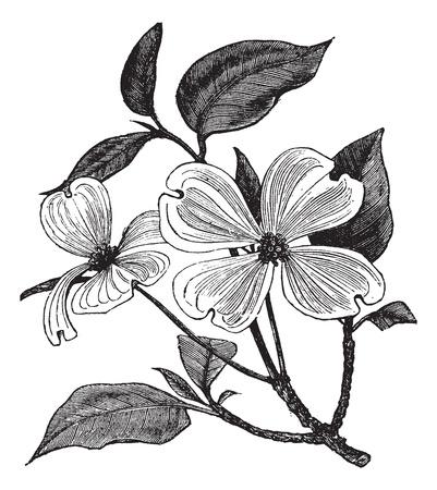 꽃 층층 또는 Cornus 플로리다, 빈티지 조각. 오래 된 꽃 층층 새겨진 된 그림.