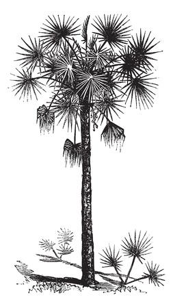 Repollo: Palmetto o palmito o de palmito o palma o la Palmetto Sabal palmetto Sabal o, grabado de �poca. Ilustraci�n del Antiguo grabado de un �rbol de Palmetto.