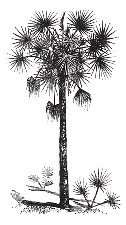 landscaping: Palmetto or Cabbage Palm or Cabbage Palmetto or Palmetto Palm or Sabal Palm or Sabal palmetto, vintage engraving. Old engraved illustration of a Palmetto tree.