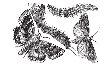 darts flying: Owlet moth or Noctuidae, vintage engraving. Old engraved illustration of an Owlet moth.