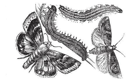 owlet: Owlet polilla o Noctuidae, el grabado de la vendimia. Ilustraci�n del Antiguo grabado de una polilla Owlet. Vectores