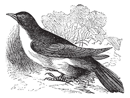 migrate: Yellow-billed Cuckoo or Rain Crow or Storm Crow or Coccyzus americanus, vintage engraving. Old engraved illustration of a Yellow-billed Cuckoo.