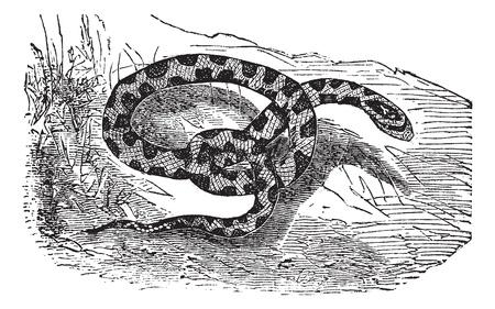 Chicken Snake or Rat Snake or Elaphe sp. or Pituophis melanoleucus, vintage engraving. Old engraved illustration of a Chicken Snake. Illustration