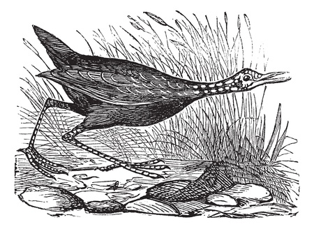 Limpkin or or Carrao or Courlan or Crying Bird or Aramus guarauna, vintage engraving. Old engraved illustration of a Limpkin.  イラスト・ベクター素材