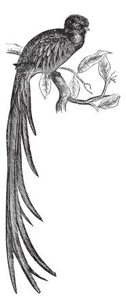 Resplendent Quetzal or Pharomachrus mocinno, vintage engraving. Old engraved illustration of a Resplendent Quetzal.