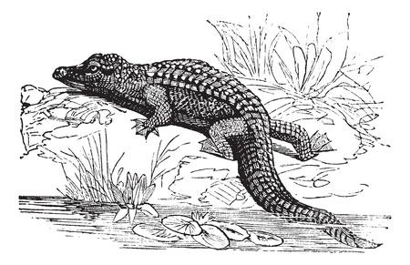 나일 강: 나일 악어 또는 Crocodylus niloticus, 포도 수확, 조각. 오래 된 나일 악어의 그림을 새겨 져있다. 일러스트