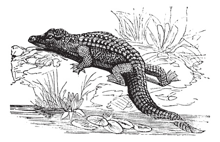 com escamas: Nile Crocodile or Crocodylus niloticus, vintage engraving. Old engraved illustration of a Nile Crocodile.