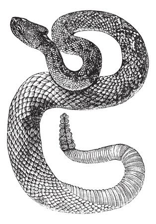 Zuid-Amerikaanse ratelslang of Tropical Ratelslang of Crotalus durissus, vintage engraving. Oude gegraveerde afbeelding van een Zuid-Amerikaanse ratelslang.