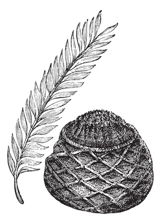 cycadaceae: Sago Palm or King Sago Palm or Cycas revoluta, vintage engraving. Old engraved illustration of a Sago Palm showing leaves (left) and female cone (right). Illustration