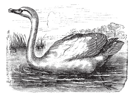 swans: Mute Swan or Cygnus olor, vintage engraving. Old engraved illustration of a Mute Swan.