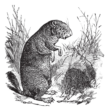 Black-tailed Prairie Dog or Cynomys ludovicianus, vintage engraving. Old engraved illustration of a Black-tailed Prairie Dog.