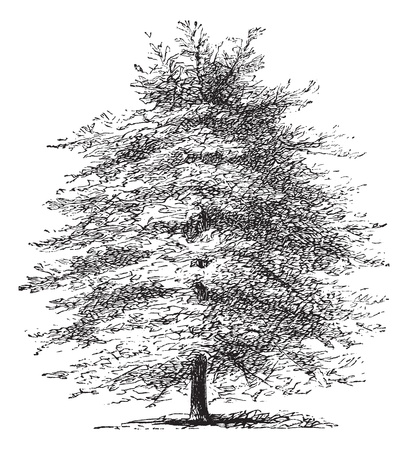 cypress tree: Italian Cypress or Cupressus sempervirens horizontalis, vintage engraving. Old engraved illustration of an Italian Cypress tree.