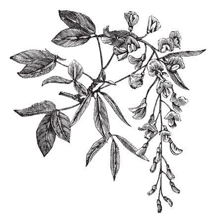 etching: Golden Chain or Golden Rain or Cytisus laburnum or Laburnum anagyroides, vintage engraving. Old engraved illustration of Golden Chain plant showing flowers.
