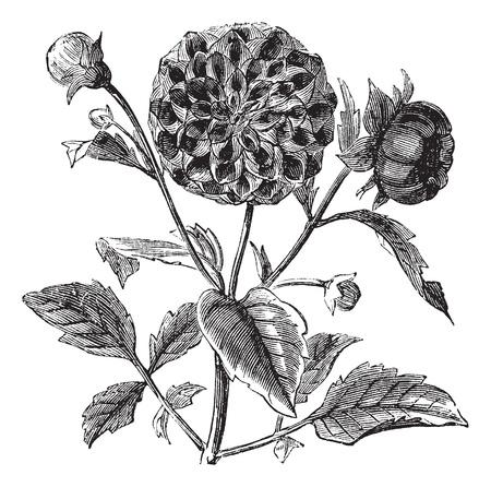 dalia: Dahlia o Dalia sp., Grabado de época. Ilustración del Antiguo grabado de una planta de la dalia que muestra las flores.