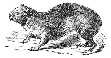 sentry: Rock Hyrax or Cape Hyrax or Procavia capensis, vintage engraving. Old engraved illustration of a Rock Hyrax.