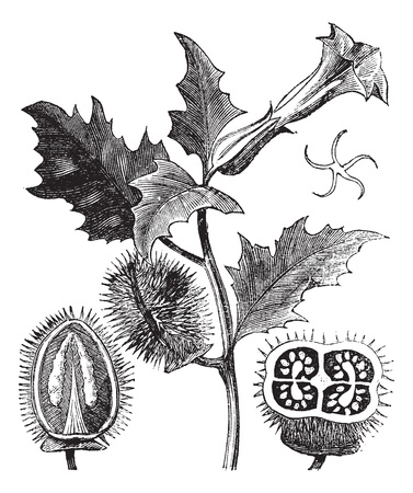 Thorn Apple or Jimson Weed or Datura stramonium, vintage engraving. Old engraved illustration of Thorn Apple plant showing flowers (top) and seed capsules (bottom left and right).