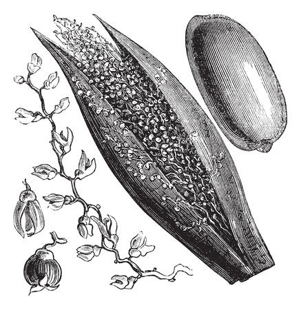 dattelpalme: Date Palm oder Phoenix dactylifera, vintage Gravur. Old gravierte Darstellung eines Date Palm inforescence (links und Mitte) und Palmfrucht (rechts).