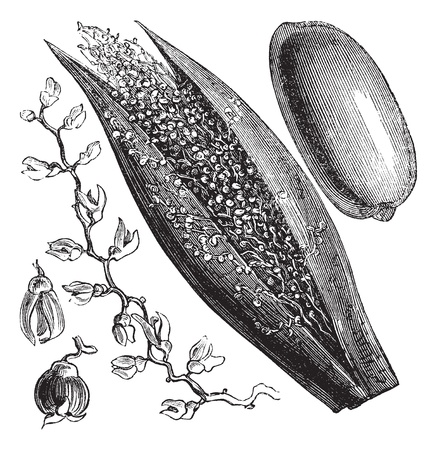 Date Palm of Phoenix dactylifera, vintage engraving. Oude gegraveerde afbeelding van een dadelpalm inforescence (links en midden) en palm fruit (rechts). Stock Illustratie