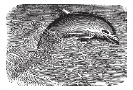 echolocation: Bottlenose Dolphin or Tursiops truncatus or Tursiops aduncus, vintage engraving. Old engraved illustration of a Bottlenose Dolphin.
