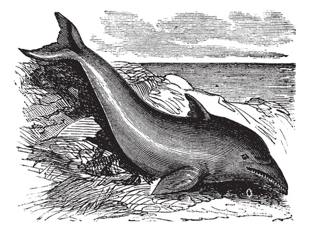 echolocation: Common Dolphin or Delphinus delphis or Delphinus capensis, vintage engraving. Old engraved illustration of a Common Dolphin.