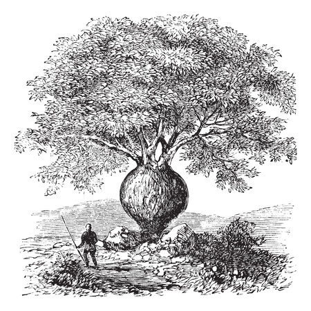 Bottle Tree or Queensland Bottle Tree or Brachychiton rupestris, vintage engraving. Old engraved illustration of a native man standing beside a Bottle Tree. Vector
