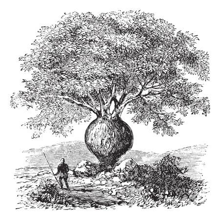 swollen: Bottle Tree or Queensland Bottle Tree or Brachychiton rupestris, vintage engraving. Old engraved illustration of a native man standing beside a Bottle Tree.