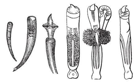 tusk: Tusk Shells or Dentalium entalis, vintage engraved illustration. Trousset encyclopedia (1886 - 1891).