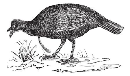 phasianidae: Wild Turkey or Meleagris gallopavo, vintage engraving. Old engraved illustration of a Wild Turkey.