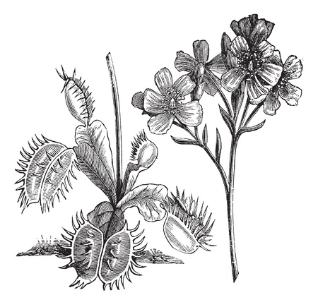 Venus Flytrap or Dionaea muscipula, vintage engraving. Old engraved illustration of a Venus Flytrap plant showing leaves (left) and flowers (right). Vector