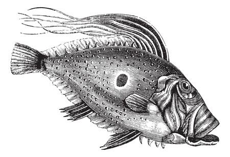 존 도리 또는 세인트 피에르 물고기 또는 세인트 피터 물고기 또는 제우스 파버, 포도 수확, 조각. 오래 된 존 도리 물고기의 그림을 새겨 져있다. 일러스트