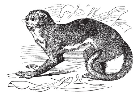 Night monkey or Owl Monkeys or Douroucouli or Aotus sp., vintage engraving. Old engraved illustration of a Night Monkey. Stock Vector - 13770643