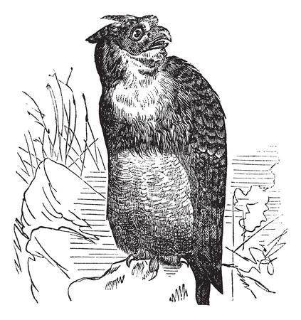 ornithological: Great Horned Owl or Tiger Owl or Bubo virginianus, vintage engraving. Old engraved illustration of a Great Horned Owl.