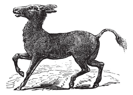 black ass: Mongolian Wild Ass or Khulan or Equus hemionus, vintage engraving. Old engraved illustration of a Mongolian Wild Ass.