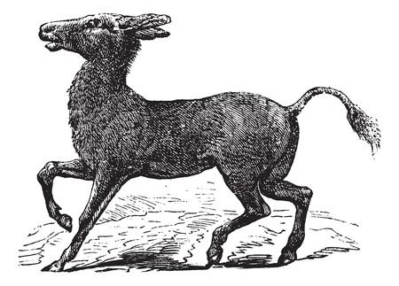poacher: Mongolian Wild Ass or Khulan or Equus hemionus, vintage engraving. Old engraved illustration of a Mongolian Wild Ass.