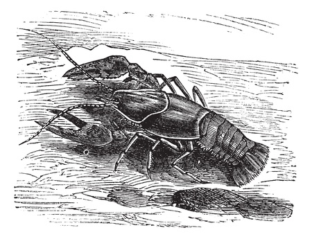 cray: Lobster or Crayfish or Astacus sp., vintage engraving. Old engraved illustration of a Lobster. Illustration