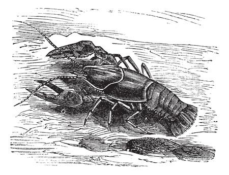 Lobster or Crayfish or Astacus sp., vintage engraving. Old engraved illustration of a Lobster. Ilustração