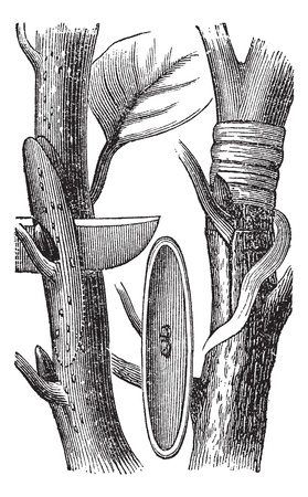 horticultural: Budding, vintage engraving. Old engraved illustration of the Budding process.