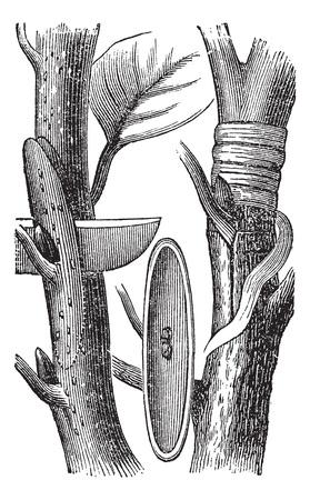 enten: Budding, vintage graveren. Oude gegraveerde illustratie van het Budding proces. Stock Illustratie
