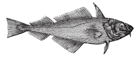 hake: Haddock or Offshore Hake or Melanogrammus aeglefinus, vintage engraving. Old engraved illustration of a Haddock.